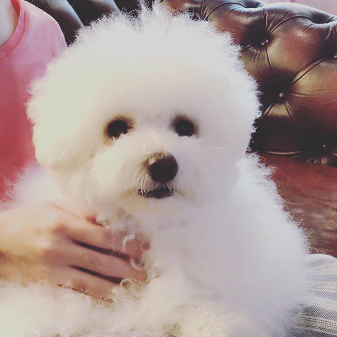 ボロニーズという犬種のエイミーちゃんの写真